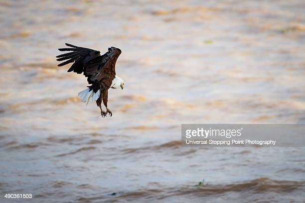 African Fish Eagle Diving