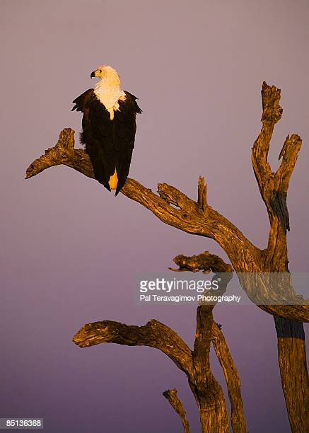 African Fish Eagle during sunset