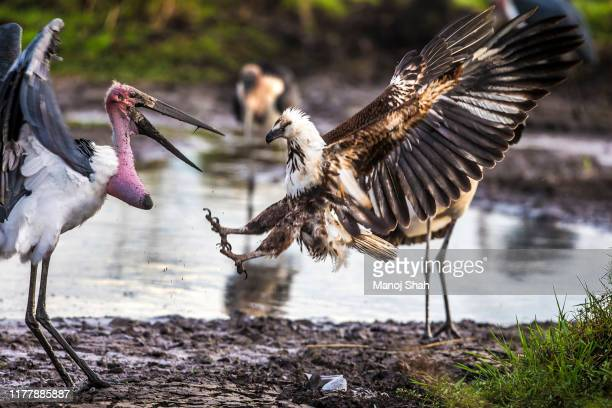 african fish eagle fights marabou stork - marabout photos et images de collection