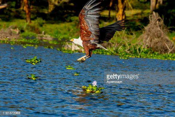 african fish eagle hunting - african fish eagle stock photos and pictures