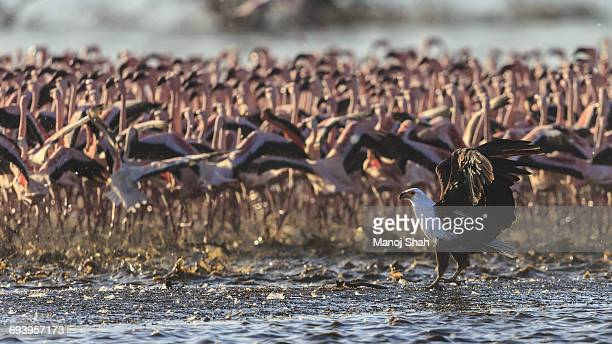African Fish Eagle &m Lesser Flamingos,