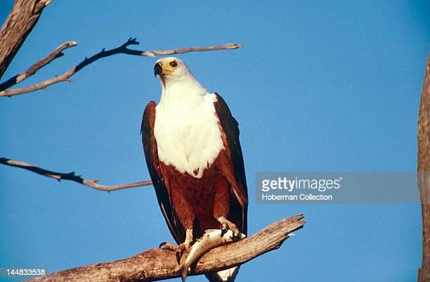 African Fish Eagle on Branch Lake Kariba Zambia Africa