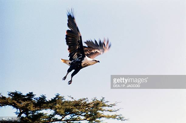 African fish eagle or African sea eagle Accipitridae