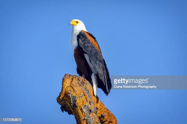 african fish eagle perched on snag in samburu national reserve, kenya, east africa - perching stock pictures, royalty-free photos & images