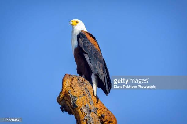 african fish eagle perched on snag in samburu national reserve, kenya, east africa - 止まる ストックフォトと画像