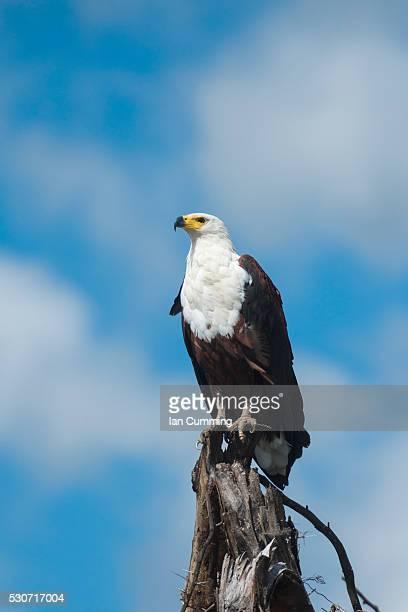 African Fish Eagle (Haliaeetus vocifer) perched on tree stump, Liwonde National Park; Malawi