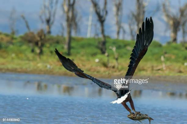 african fish eagle - fischadler stock-fotos und bilder