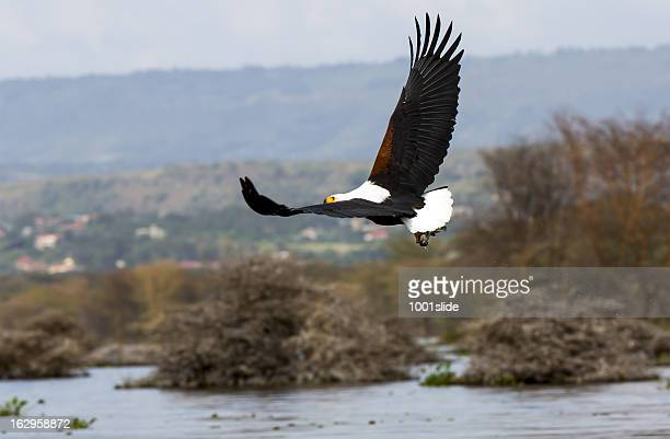 African Fish Eagle – preying