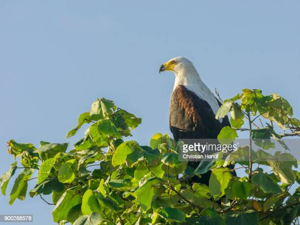 African fish eagle (Haliaeetus vocifer), Saint Lucia, KwaZulu-Natal, South Africa