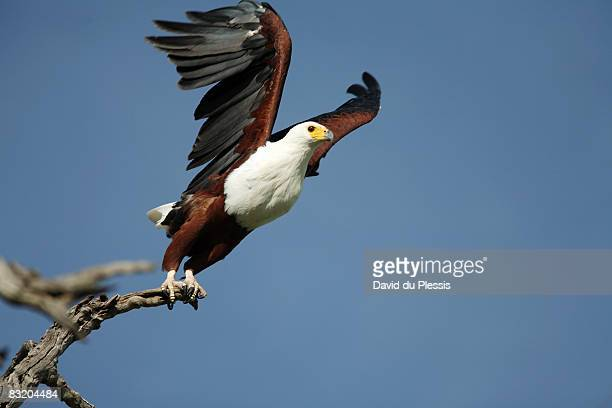 african fish eagle (haliaeetus vocifer) taking off, chobe national park, botswana - african fish eagle stock photos and pictures