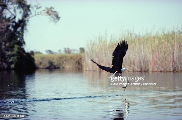 african fish eagle (haliaeetus vocifer) with catch, taking flight - african fish eagle stock photos and pictures