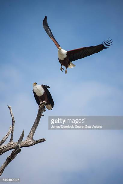 African Fish or Sea Eagles