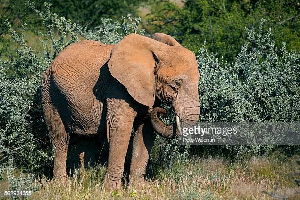 African Forest Elephant -Loxodonta cyclotis-, Damaraland, Namibia, Africa