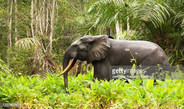 african forest elephant loxodonta in loango nationa park, gabon, africa - gabon stock pictures, royalty-free photos & images