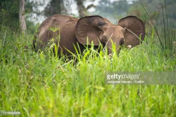 african forest elephant loxodonta in loango national park, gabon - gabon stock pictures, royalty-free photos & images