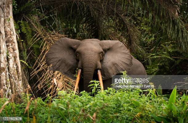 african forest elephant loxodonta in loango national park in gabon - gabon stock pictures, royalty-free photos & images