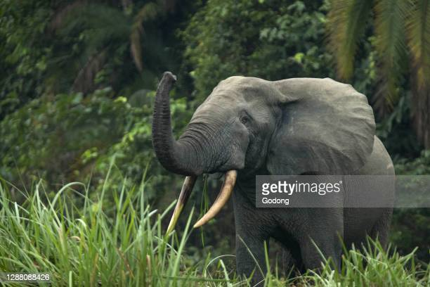 African forest elephant . Odzala-Kokoua National Park, Republic of the Congo.