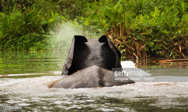 african forest elephant swimming in the stream in gabon - gabon stock pictures, royalty-free photos & images