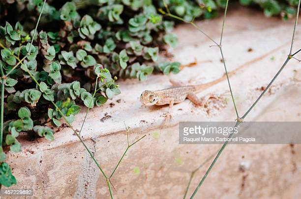 African gecko in the garden