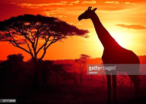 jirafa al atardecer africano - tanzania fotografías e imágenes de stock