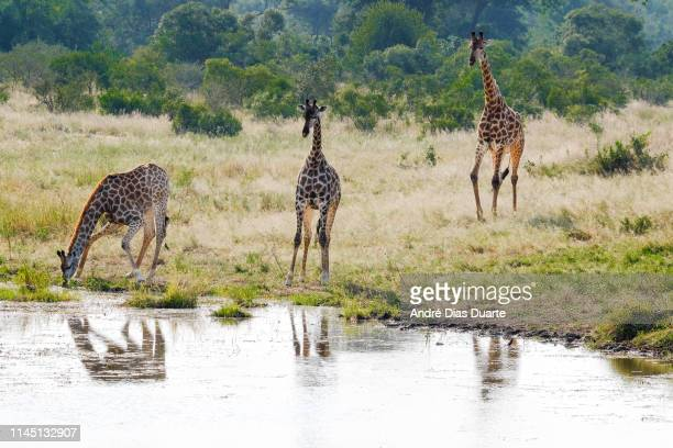 african giraffe drinking water - waterhole stock pictures, royalty-free photos & images