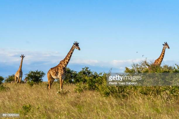 african giraffes in maasai mara - wildlife reserve stock pictures, royalty-free photos & images