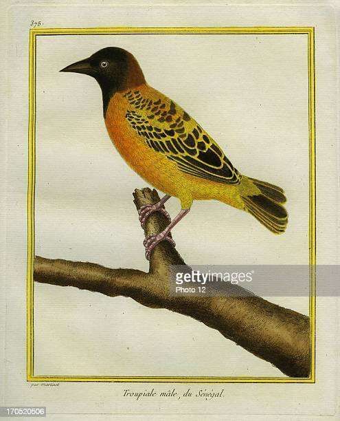 African Golden Oriole Oriolus auratusAfrican Golden OrioleGeorgesLouis Leclerc Comte of Buffon Natural History of birds fish insects and reptiles...