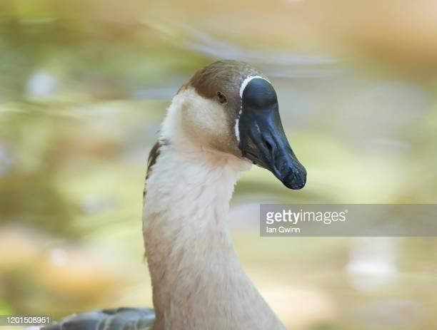 african goose - ian gwinn stock pictures, royalty-free photos & images