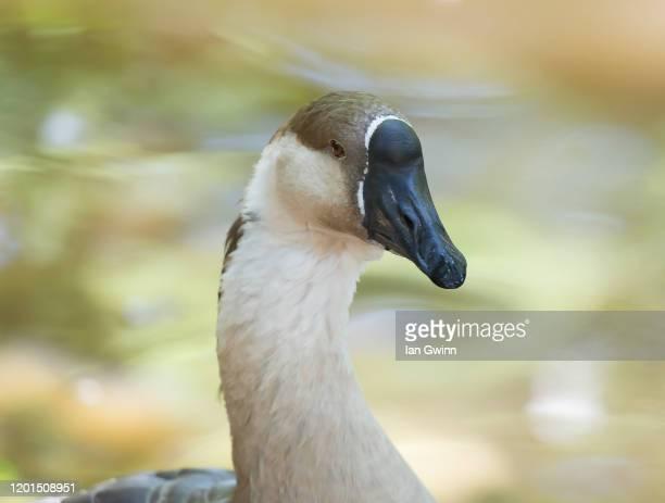 african goose - ian gwinn stockfoto's en -beelden