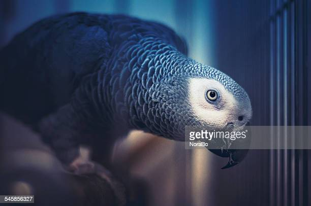 African gray parrot perching in cage