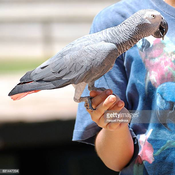 African gray parrot (Psittacus erithacus)