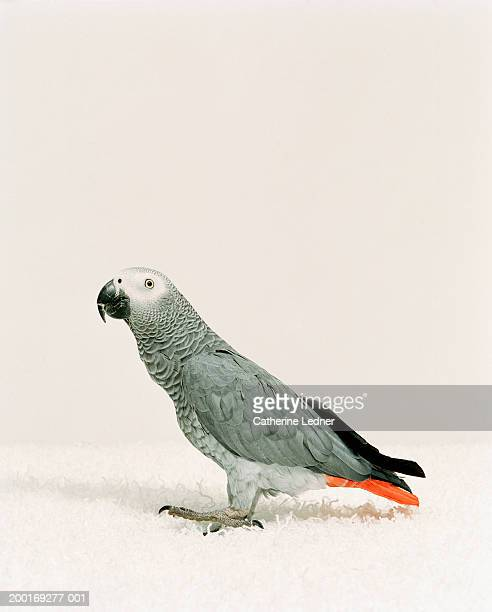 African Grey bird (Psittacus erithacus) on white carpet