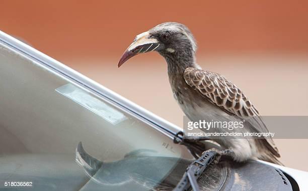African grey hornbill on a car.