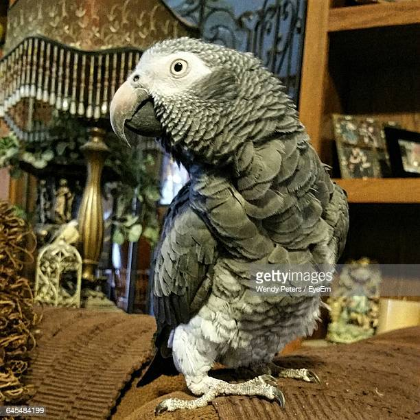 African Grey Parrot At Home
