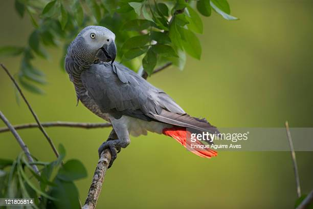 African Grey Parrot (Psittacus erithacus) captive