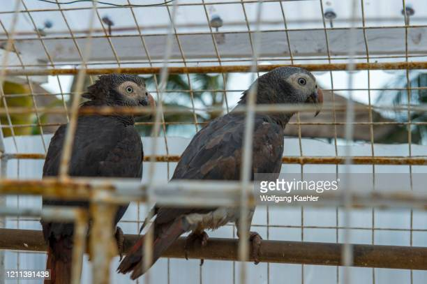 African Grey Parrot in cages at Coconut Grove Resort near Elmina, Ghana.