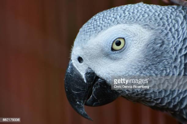 African Grey Parrot (Psittacus Erithacus).