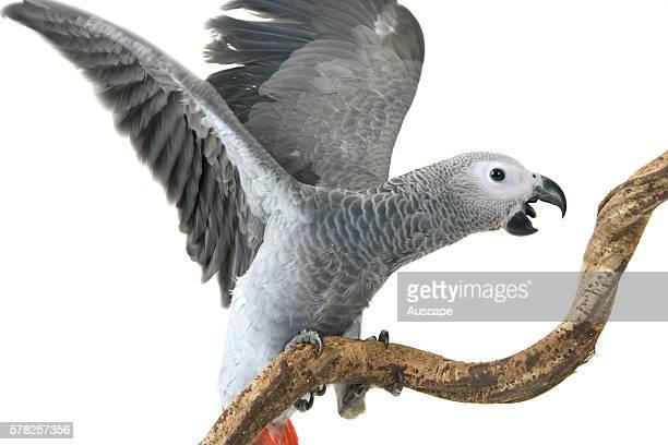 African grey parrot Psittacus erithacus erithacus young bird studio shot