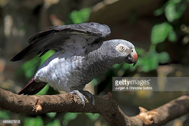 African Grey Parrot -Psittacus erithacus- sitting on a tree and spreading its wings, native to West Africa, captive, Heidelberg, Baden-Wurttemberg, Germany