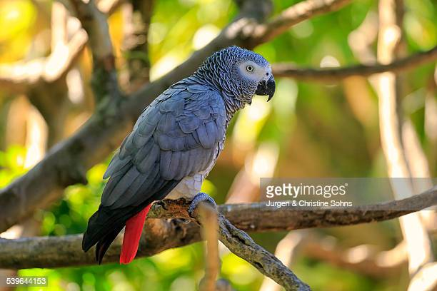 African Grey Parrot -Psittacus erithacus timneh-, adult on tree, native to Central Africa and West Africa, captive