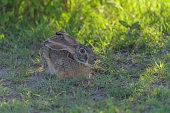 african hare savannah masai mara national