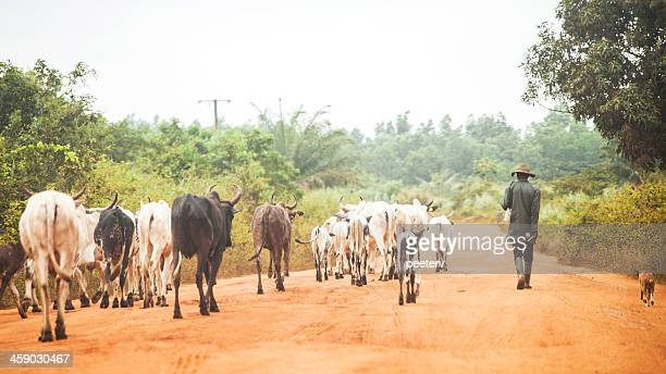 african herdsman and cows on the road. - fulani stock photos and pictures