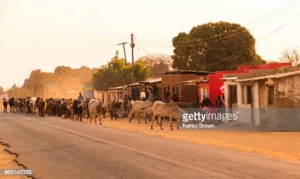 African Herdsman Herding Cows Down Main Street in Village of Salima in Malawi