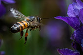 african honeybee hovering approach to blossoming