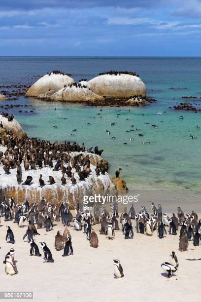 african jackass penguins and cape cormorants colony at boulders bay in south africa - cape town foto e immagini stock