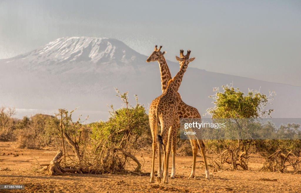 African landscape with giraffes and Kiimanjaro, Selenkay, Amboseli, Kenya : Stock Photo