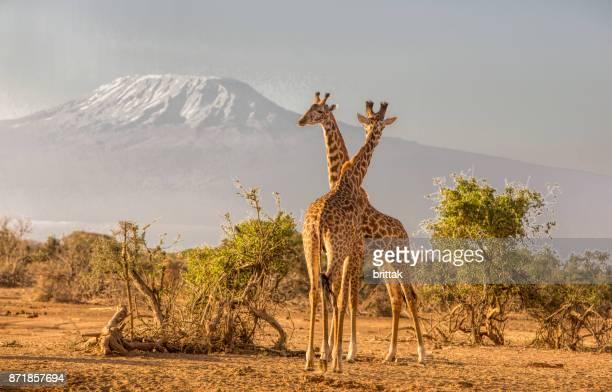 african landscape with giraffes and kiimanjaro, selenkay, amboseli, kenya - giraffe stock pictures, royalty-free photos & images