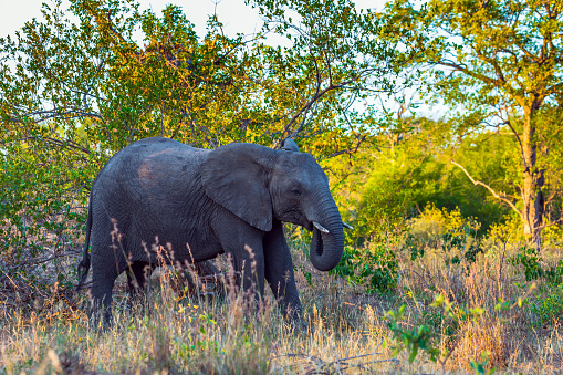 African large savanna elephant 1223988631