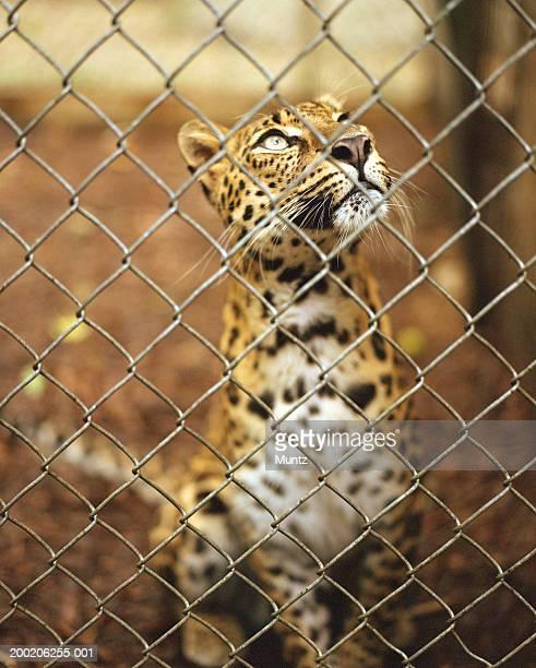 african leopard (panthera pardus) behind fence - animales en cautiverio fotografías e imágenes de stock