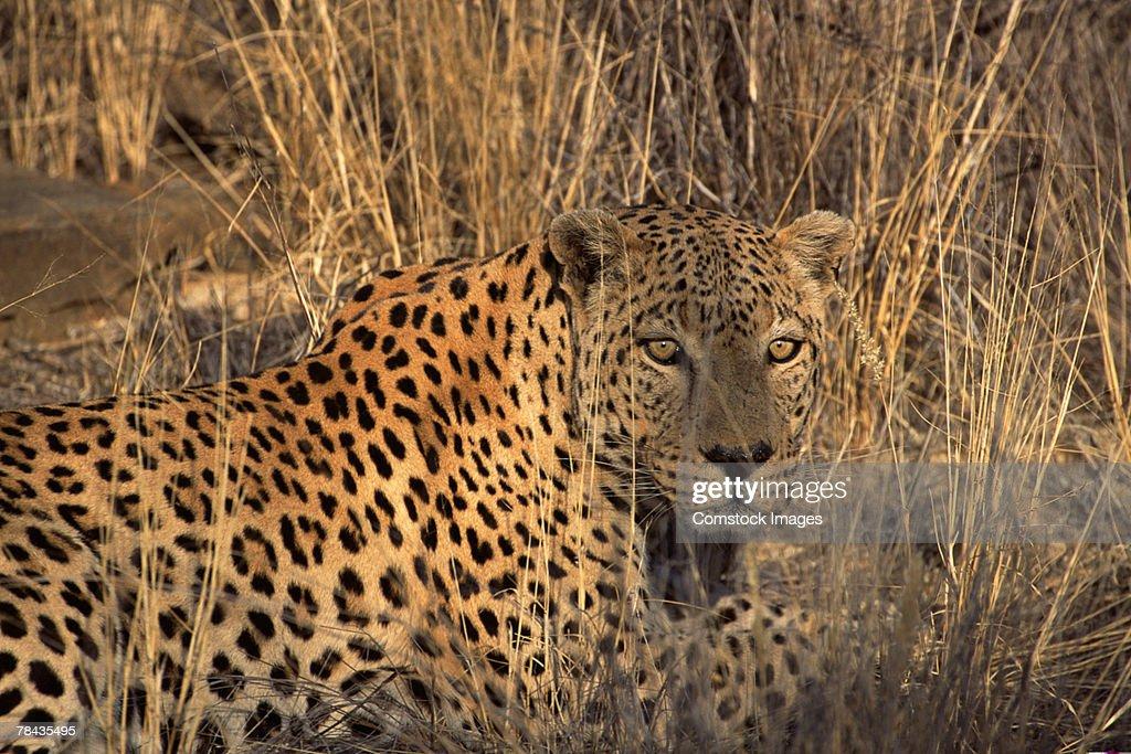 African leopard hidden in grass , Namibia , Africa : Stockfoto